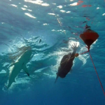 بالفيديو ..ما حقيقة القرش الذي سابقه مايكل فيلبس؟
